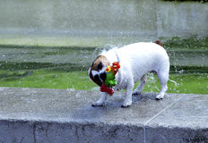 Wet Dog Royalty Free Stock Images