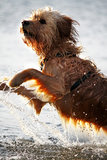 Wet dog. View of a domestic dog with his fur wet jumping on the water Stock Photo