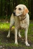 Wet dog after bath. Wet yellow lab after bath in lake stock images