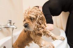 Wet dog in the bathroom. Grumer washes American cocker spaniel. Wet dog in the bathroom stock image