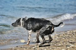 Wet dog on the beach Royalty Free Stock Photography