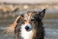 Wet dog on the beach Stock Photography