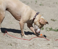 Wet dog on beach with orange ball and tie out leash Stock Images