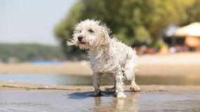 Wet dog on the beach shaking off Royalty Free Stock Image