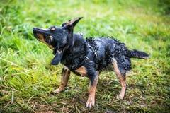 Wet dog Royalty Free Stock Image