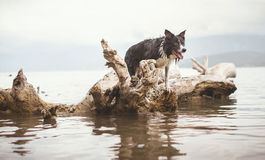 Wet Dog Black and White Border Collie Standing on the Dead Tree Fallen into the Sea. Stock Images