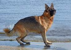 Wet dog breed East European Shepherd near the water. Summer in the heat of a dog with a thick warm coat is very hot and she likes to swim Stock Photo