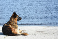 Wet dog breed East European Shepherd near the water. Summer in the heat of a dog with a thick warm coat is very hot and she likes to swim Stock Image