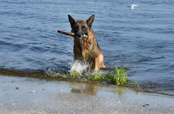 Wet dog breed East European Shepherd runs on the shore of the pond Royalty Free Stock Photography