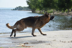 Wet dog breed East European Shepherd runs on the shore of the pond Royalty Free Stock Photo