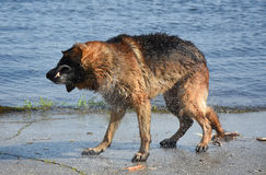 Wet dog breed East European Shepherd Shaking on the shore of the pond Royalty Free Stock Image