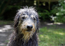 Wet dog. Close up of a wet dog after a swim Royalty Free Stock Photography