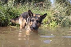 Wet dog german shepherd in a water Stock Photo