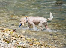 Wet dog getting toy from sea. Stock Photo