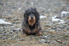 Wet dog after a hard day at the beach. stock images