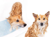 Wet dog having a bath Stock Images