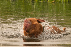 Wet dog having a good shake while swimming Royalty Free Stock Photos