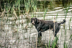 Wet dog. Wet hunting dog in a countryside lake Stock Images