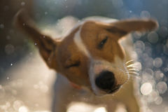 Wet dog jack russell terrier shakes off the water on a sunset ba. Ckground with flying sprays and bokeh shooting in motion blur royalty free stock images