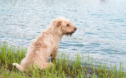 Wet dog. On the lagoon Stock Image