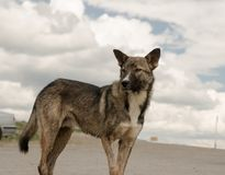 The wet dog looks into the distance. A thin dog stands in the middle of the steppe against the background of clouds Royalty Free Stock Images
