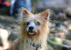 Wet dog. Mixed terrier wet after a swim in a park Stock Photos