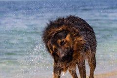 Wet dog in the ocean Stock Image