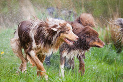 Wet dog pack Stock Photo