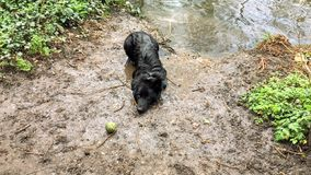 Wet dog playing a game of fetch and swimming during a walk in the woods. Soaking wet German Shepard cross Border Collie dog lays on the floor in the woods next stock photo