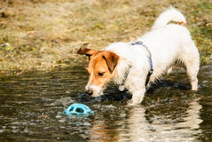 Wet dog playing with toy ball in spring puddle Stock Images