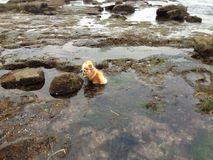 Wet Dog. Pomeranian takes the plunge in a tide pool stock images