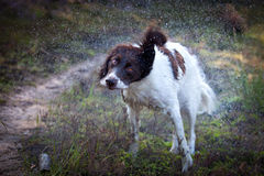 Wet dog produces water droplets by shaking his body. A wet dog standing in the heather produces many water droplets by shaking his body Royalty Free Stock Photo