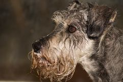 Wet dog profile. A wet dog portrait, profile view. Image was shot outdoors on a rainy day royalty free stock image