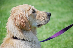 Wet Dog with Purple Leash. Yellow lab in profile after a swim Stock Photography