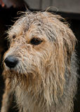 Wet dog in rain. An orphan dog waits his new owner in a dog pound Royalty Free Stock Photo