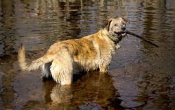 Wet dog retrieving a stick, standing in a pond, Connecticut. Royalty Free Stock Photo