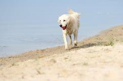 Wet dog run. Full-length stock images