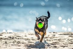 Wet dog running with ball Royalty Free Stock Images