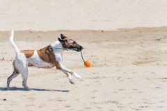Wet Dog Running on the beach with a rope and a ball in mouth Stock Photography
