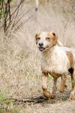 Wet dog running in field Royalty Free Stock Photo