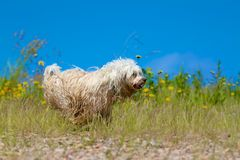 Wet dog running Royalty Free Stock Photo