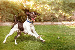 Wet Dog Running Through Sprinklers Stock Image
