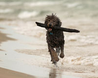 Wet Dog Running with Stick on Beach Stock Photography