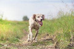 Wet dog running Stock Photography
