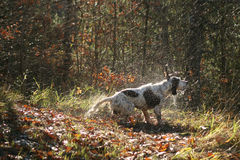 Wet dog shaking. An English Setter after a bath in the woods Royalty Free Stock Photos