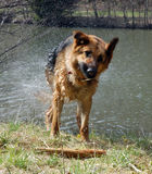 Wet dog shaking Stock Photos