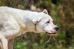 Wet dog shaking Royalty Free Stock Photography