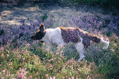 Wet dog shaking droplets of water. Wet dog tanding in the purple heather and shaking droplets of water Stock Photo
