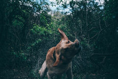 Wet dog shaking in forest. Wet dog shaking off in the canopy of the forest Royalty Free Stock Image