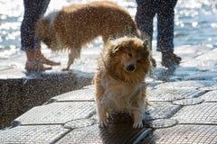 Wet dog shaking the head Stock Image